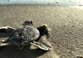 <h5>See Baby Sea Turtles Hatching</h5><p>See Baby Sea Turtles Hatching</p>
