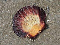 Shelling on Marco Island