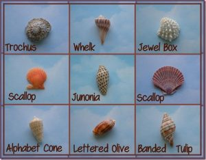 Types of Shells found on Marco Island