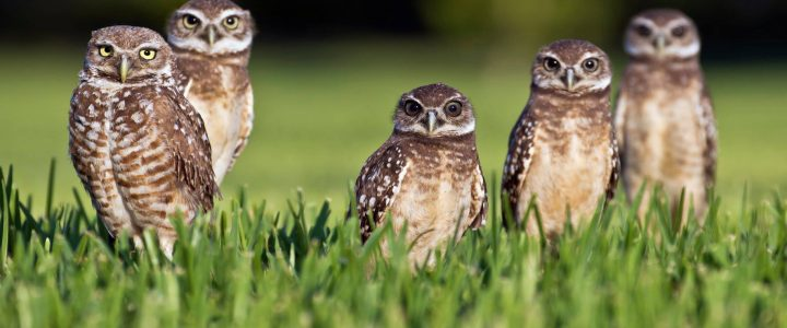 Burrowing Owls Are Year Round Residents of Marco Island