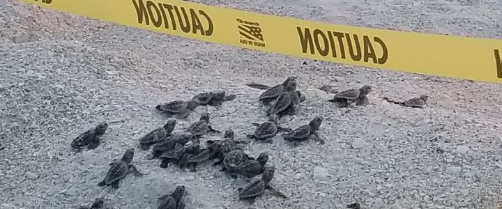 Baby Sea Turtles Hatching on Marco Island, FL
