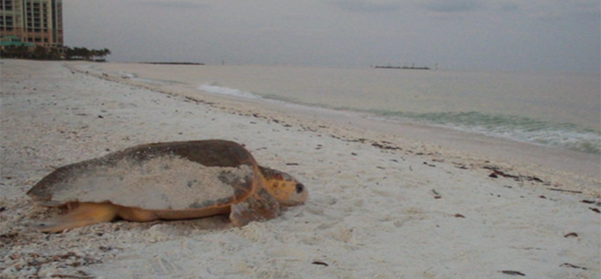 Sea Turtle on Marco Island (Mary Nelson and Maura Kraus)