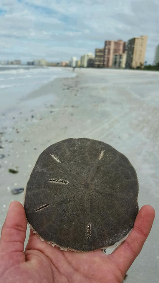 How To Tell Which Sand Dollars Are Safe To Take Home