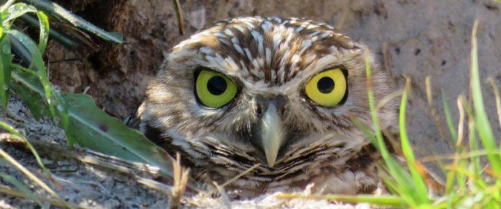 Burrowing Owls on Marco Island