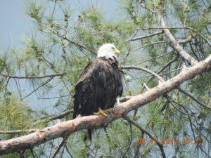 Marco Island Bald Eagle