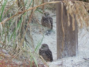 Burrowing Owls at Resident's Beach