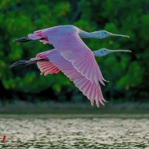 Pink Spoonbills in Flight