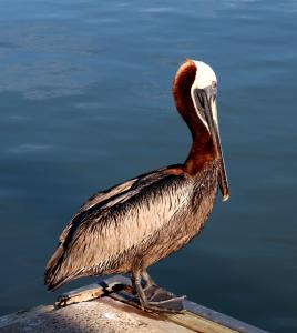 Marco Island Brown Pelican